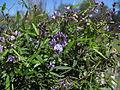 Glycine clandestina plant12 (15283123891).jpg