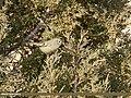 Goldcrest (Regulus regulus) (24360361258).jpg