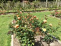 Golden Gate Park Rose Garden 13 2016-06-29.jpg