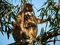 Golden Langurs, Assam, close to Manas National Park.jpg