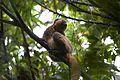 Golden bamboo lemur Hapalemur aureus (15720089728).jpg