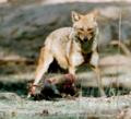 Golden jackal & hanuman langur.png