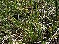 Golden sedge, Carex aurea (17286248415).jpg
