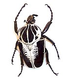 a Goliath beetle facing up with white stripes on carapace