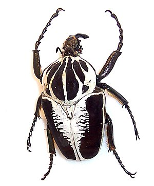 The goliath beetle is arguably the world's hea...