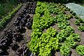 Goodnestone Park Different types of lettuce growing well in the kitchen garden.JPG
