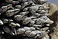 Goose barnacles (28771949648).jpg