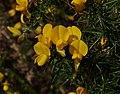 Gorse flowers - Flickr - S. Rae.jpg