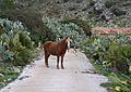 Gossos i cavall a Xaló.JPG