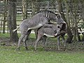 Grévy's Zebra mating.jpg
