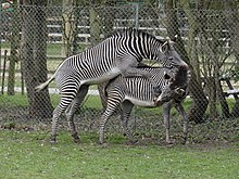 A pair of Grévy's zebras mating