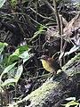 Grallaria flavotincta -Mindo, Ecuador-8.jpg