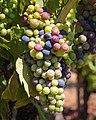 Grapes, Dry Creek Valley-7705.jpg