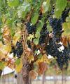 Grapes03.jpg