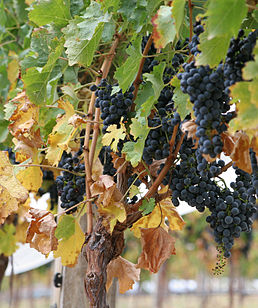 Vitis vinifera, wine grapes