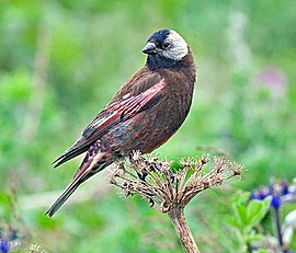 Gray-Crowned Rosy-Finch.jpg