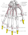 Gray219 - Distal phalanges of the hand.png