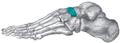 Gray291 - Navicular bone.png
