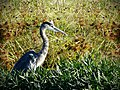 Great Blue Heron in the Weeds.jpg