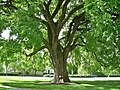 Great Elm at Phillips Academy, Andover, MA - May 2020.jpg