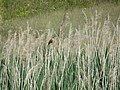 Great Reed Warbler (Acrocephalus arundinaceus), Lalinačka slatina.jpg