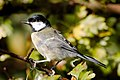 Great Tit - Summer Leys (37662608226).jpg