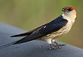 Greater Striped Swallow, Hirundo cucullata (syn. Cecropis cucullata), at Marievale Nature Reserve, Gauteng, South Africa (30419723721).jpg