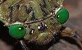 Green-eyed Cicada (Megapomponia imperatoria) (8693270250).jpg