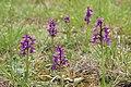 Green-winged Orchid - Anacamptis morio - panoramio (28).jpg