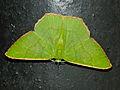 Green Geometrid Moth (Ornithospila submonstrans) female (15682073455).jpg