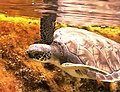 Green sea turtle cayman turtle farm.jpg