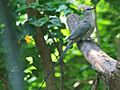 Grey Go-away-bird SMTC.jpg