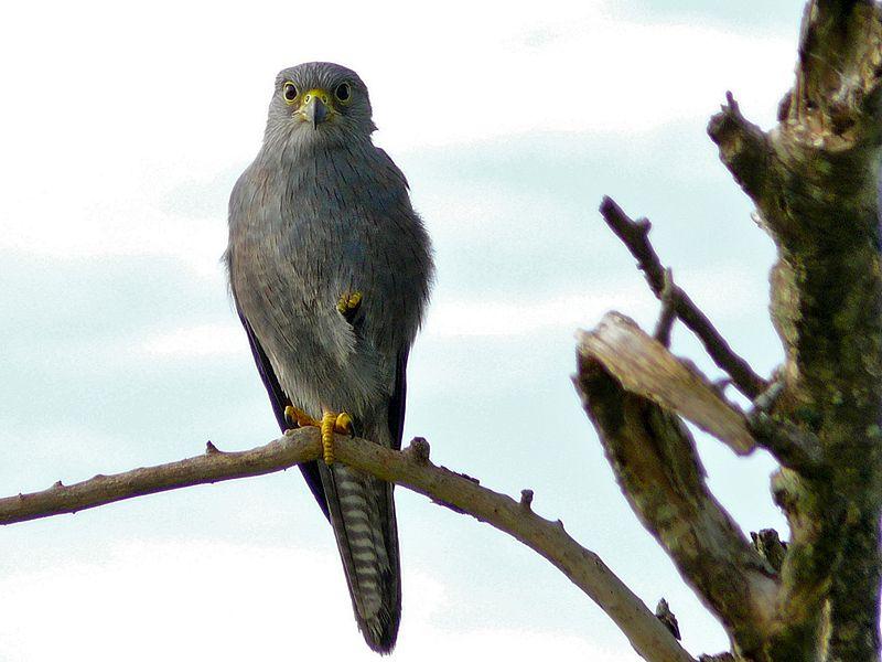 File:Grey Kestrel (Falco ardosiaceus) (6861322791).jpg
