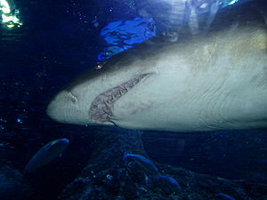 Aquarium of Western Australia - Grey Nurse Shark at the aquarium