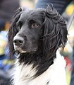 Grote Münsterländer - world dog show 2010.jpg