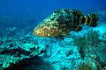 Grouper, NPSPhoto (9249981980).jpg