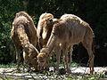 Gruppe Dromedare Zoo Landau Juni 2011.JPG