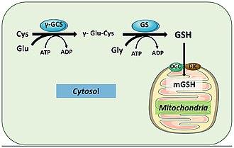 Glutathione synthetase - Image: Gsh mitochondria