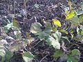Gunnera tinctoria - wetland 3.jpg