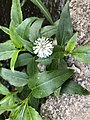 Gymnocoronis spilanthoides 59381437.jpg