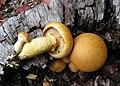 Gymnopilus junonius - Flickr - Dick Culbert.jpg