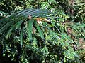 H20140403-1439—Torreya californica—RPBG (13726566205).jpg