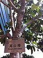 HKCL CWB tree 高山榕 Ficus altissima Oct-2013 001.JPG