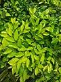 HKU 香港大學 PFL campus 薄扶林校園 green leaves April 2019 SSG 04.jpg