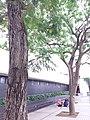 HK Central City Hall 愛丁堡廣場 Edinburgh Place 香港大會堂紀念花園 Memorial Garden trees Dec 2018 SSG 09.jpg