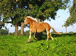 Haflingi ló galoppozik