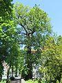 Hagen, Fleyer Straße 104b, Stieleiche.JPG