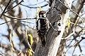 Hairy Woodpecker (Picoides villosus) (20357863681).jpg