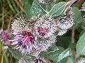Halberstad Flora Pflanzen Harz 21 52 27 488000.jpeg