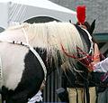 Half Arabian Pinto Stallion, Black Tie Affair (5992585444).jpg
